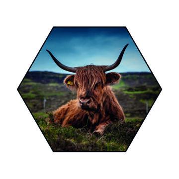 Hexagon   Schotse Hooglander liggend